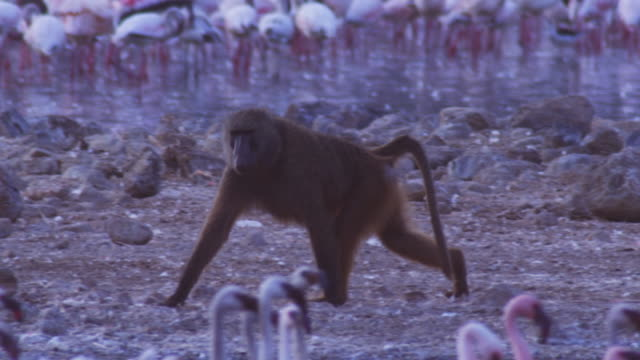 pan with olive baboon walking along rocks with flamingoes filling foreground and background past second baboon eating flamingo - 脅し点の映像素材/bロール