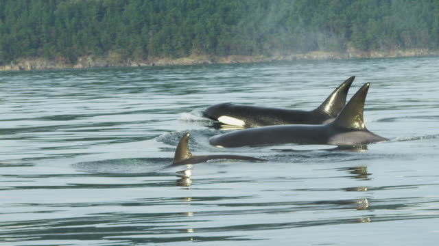ms pan with orcas surfacing to breathe and swimming in profile on flat calm sea with wooded shoreline in background - killer whale stock videos and b-roll footage
