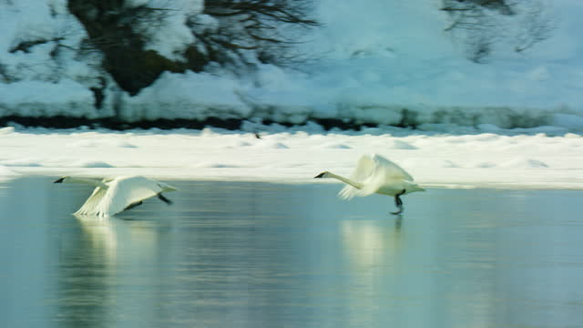 pan with pair of trumpeter swans taking off from ice - slippery stock videos & royalty-free footage