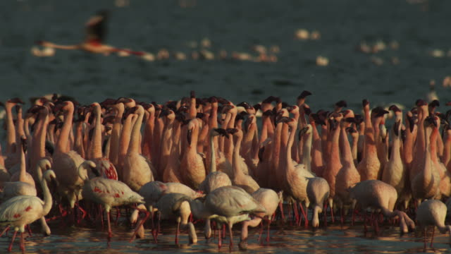 cu pan with parading flock of lesser flamingoes on lake bogoria - marching stock videos & royalty-free footage