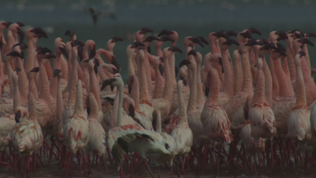 CU PAN with parading flock of Lesser flamingoes