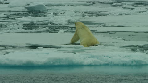 stockvideo's en b-roll-footage met pan with polar bear as it falls through ice then walks across ice floe - melting