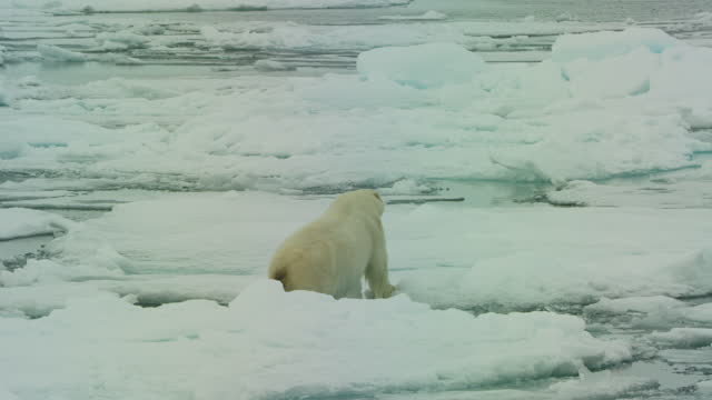 pan with polar bear stepping across ice floes cautiously - arctic stock videos & royalty-free footage