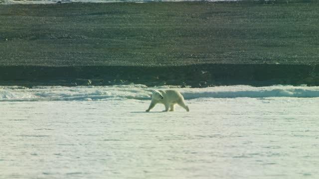 ws pan with polar bear walking on ice in heat haze with arctic tern attacking - kleine gruppe von tieren stock-videos und b-roll-filmmaterial