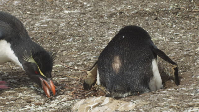 ms pan with rockhopper penguin as it steals nest material from neighbour and adds to its nest - mittelgroße tiergruppe stock-videos und b-roll-filmmaterial