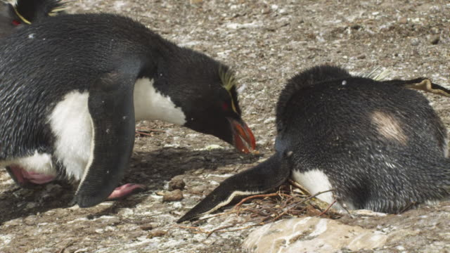 vídeos y material grabado en eventos de stock de ms pan with rockhopper penguin as it steals nest material from neighbour and adds to its nest - cinco animales