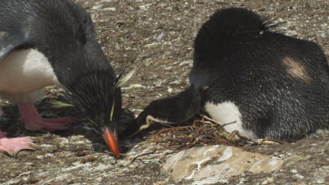 cu pan with rockhopper penguin as it steals nest material from neighbour and adds to its nest - mittelgroße tiergruppe stock-videos und b-roll-filmmaterial