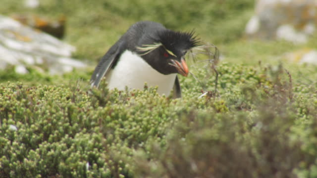 ms pan with rockhopper penguin collecting nest material then walking back to colony - mittelgroße tiergruppe stock-videos und b-roll-filmmaterial