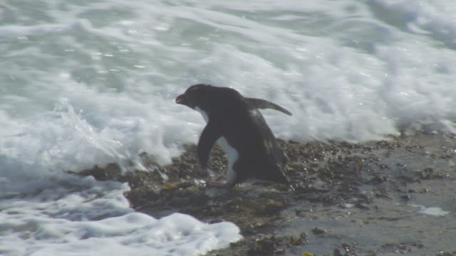 ms pan with rockhopper penguin hopping down rocks and into heavy surf - cinque animali video stock e b–roll