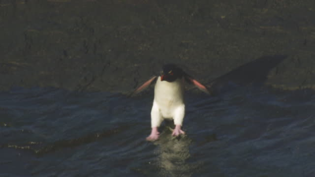 ha ms td with rockhopper penguin hopping fast to camera across shoreline rock and slipping on rock - 一隻動物 個影片檔及 b 捲影像