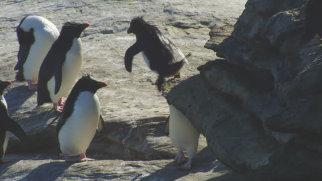 ms td with rockhopper penguin hopping nervously down rocks - medium group of animals stock videos & royalty-free footage