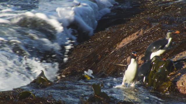 vídeos de stock, filmes e b-roll de ms pan with rockhopper penguin struggling along rocks in heavy surf on shoreline - grupo pequeno de animais