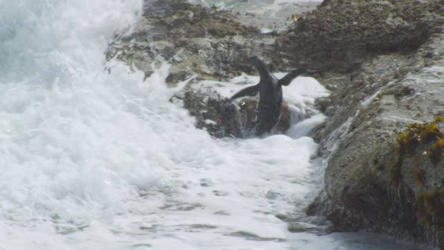 pan with rockhopper penguin struggling to land in heavy surf and hopping up rock - surf rock stock videos & royalty-free footage