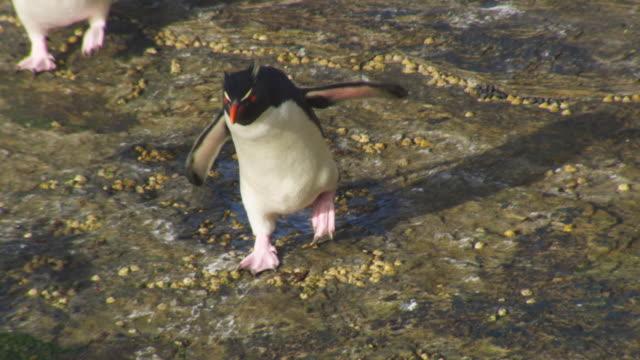 ha ms td with rockhopper penguin walking to camera across shoreline rock - flightless bird stock videos & royalty-free footage