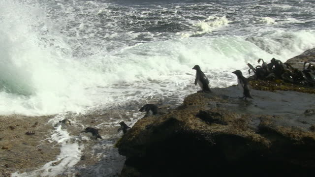 pan with rockhopper penguins running down rocks then diving into sea with others waiting nervously on rocks - flightless bird stock videos & royalty-free footage