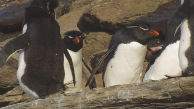 la cu pan with rockhopper penguins walking and hopping on shoreline rocks - flightless bird stock videos & royalty-free footage