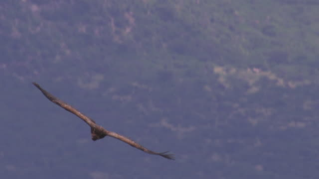 pan with ruppells vulture gliding to camera and circling  - hovering stock videos and b-roll footage