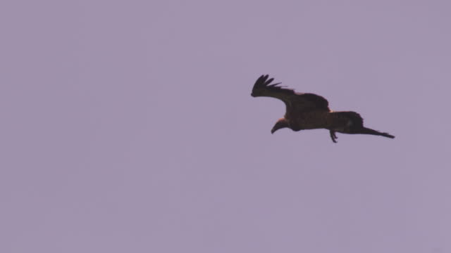 la pan with ruppells vulture gliding with feathers rippling - 翼を広げる点の映像素材/bロール