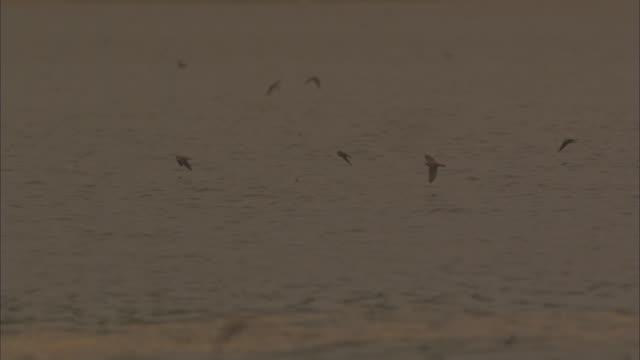 SLO MO WS PAN with Sand Martins hunting Long tailed Mayflies swarming over Tisza river