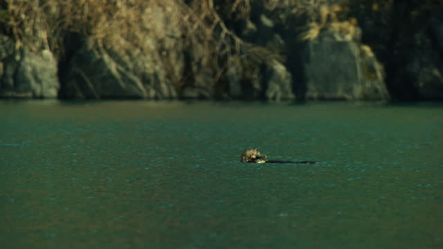 vidéos et rushes de ws pan with sea otter floating and eating crab - wide shot