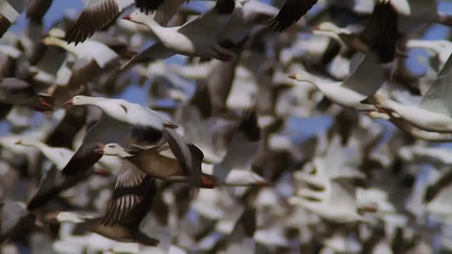 slomo ms pan with snow goose flying towards camera in huge flock - bird stock videos & royalty-free footage