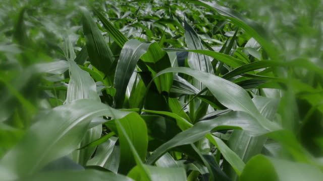 cu with soft focus filter, young corn stalks - soft focus stock videos & royalty-free footage