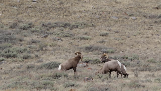 WS with sound of bighorn rams (Ovis canadensis) butting heads during the rut