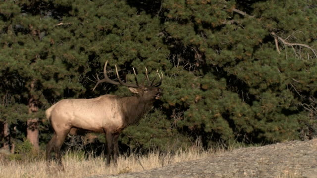 MS  with sound, shot of a bull elk  (Cervus canadensis) bugling during the rut