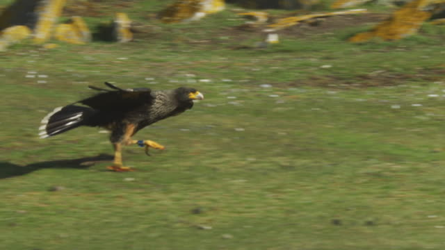 SLOMO PAN with Striated Caracara skipping over grass to join Turkey Vultures and Caracaras feeding on King Cormorant carcase