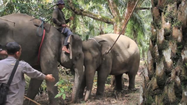 with the help of tame elephants indonesia conservation officers expel a wild elephant from a village in aceh in the island of sumatra in a six day... - tame stock videos & royalty-free footage