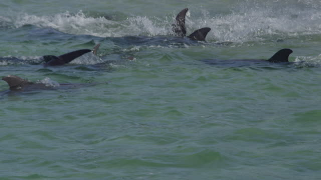 vidéos et rushes de pan with tight group of bottlenosed dolphins swimming and playing in shallows - grand dauphin