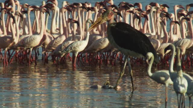 pan with walking lesser flamingo flock to reveal marabou stork eating flamingo in foreground - flamingo bird stock videos & royalty-free footage