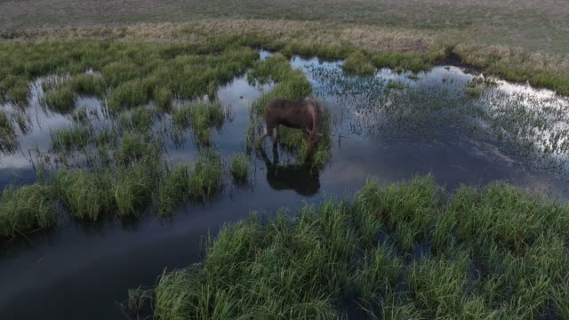 AMAZING MOOSE ORBIT with Water reflection - Moose 4K Drone Aerial View, Bull Moose Filmed in the Rocky mountains on the USA, Canada border in a beautiful lake, stream eating grass