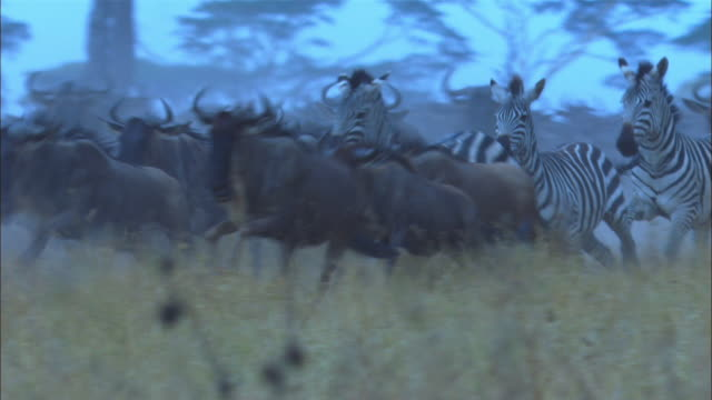 PAN with wildebeest and zebra stampeding in smoky grassland