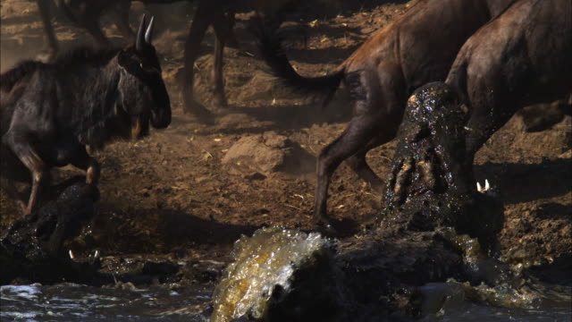 SLOMO PAN with Wildebeest jumping away from Nile crocodiles striking at them