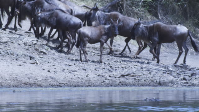 SLOMO PAN with Wildebeest running along riverbank with Nile crocodile in river in foreground
