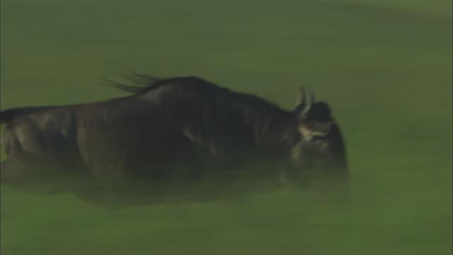 PAN with wildebeest running through grass ZO to reveal herd