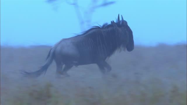pan with wildebeest stampeding in smoky grassland - stampeding stock videos & royalty-free footage