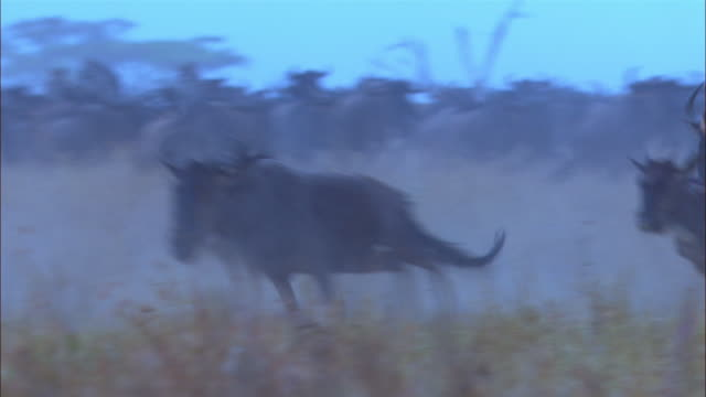 stockvideo's en b-roll-footage met pan with wildebeest stampeding in smoky grassland - op hol slaan