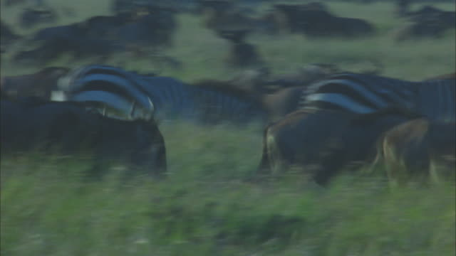 PAN with wildebeest trotting through herd in long grass
