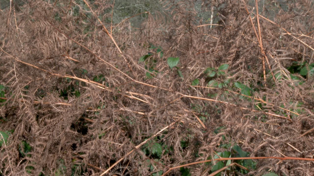 Withered bracken in rural south west Scotland