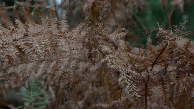 Withered bracken swaying in the wind in damp a Scottish woodland