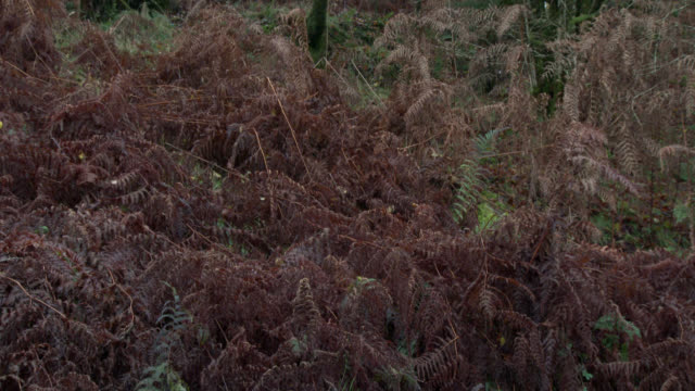 Verwelkte Bracken wiegen sich im Wind an feuchten einen schottischen Wald