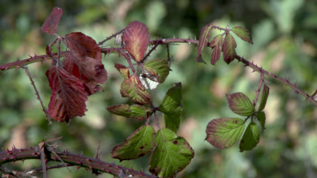 Withered leaves on a bramble bush in autumn