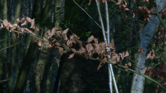 withered leaves on a branch - johnfscott stock videos & royalty-free footage