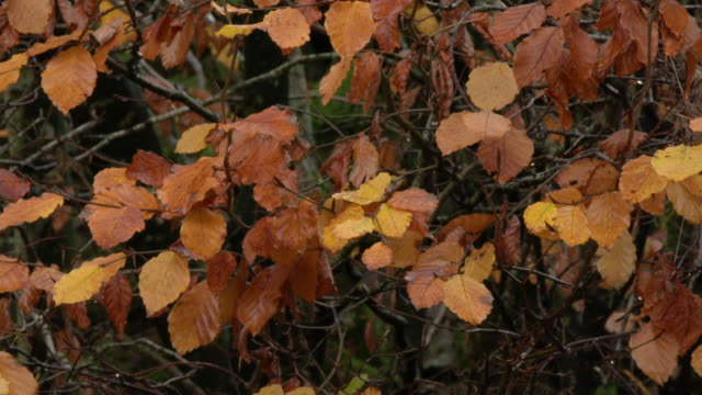 Withered leaves swaying gently in the wind in damp Scottish woodland