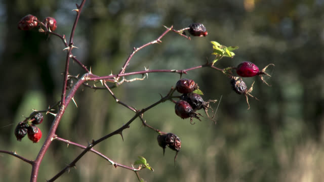 withered rosehips blowing in the wind in south west scotland - decay stock videos & royalty-free footage