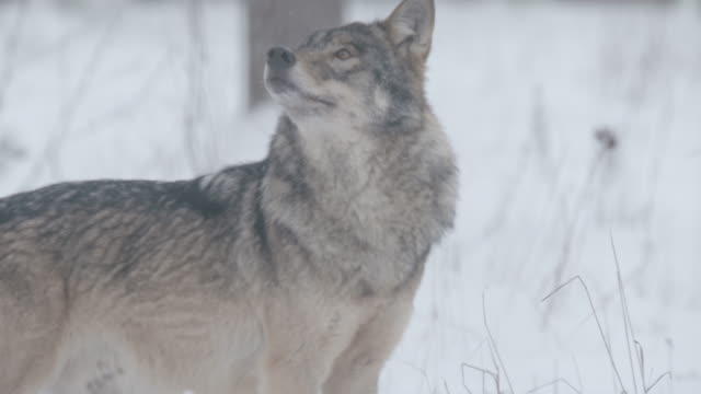 wolf and snow - europe stock videos & royalty-free footage