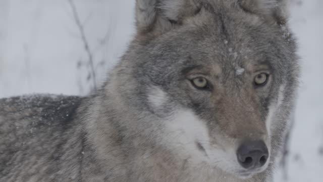 狼と雪 - 動物の世界点の映像素材/bロール