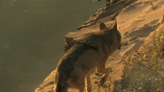 Wolf and sunset near river